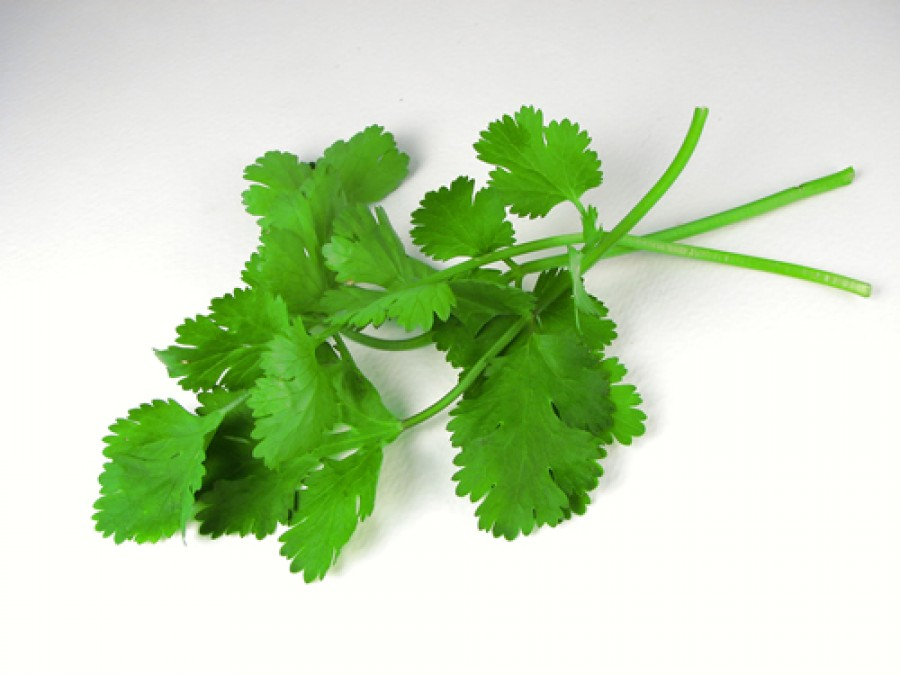 How To Grow Cilantro In A Pot
