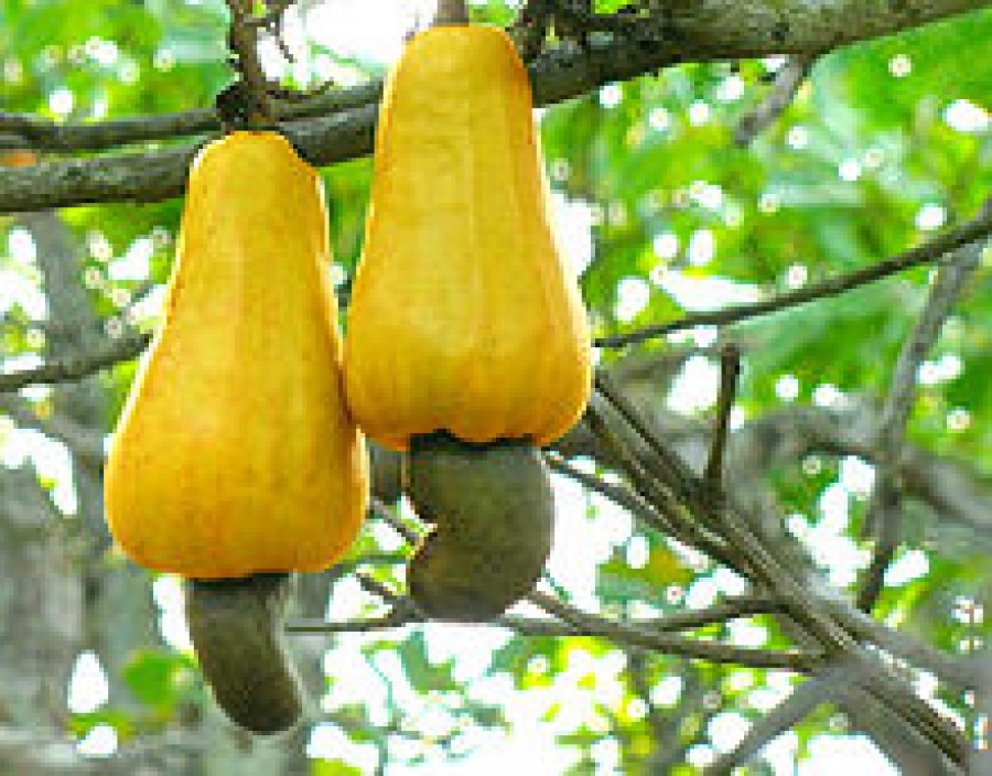 Cashew nut nutrition facts
