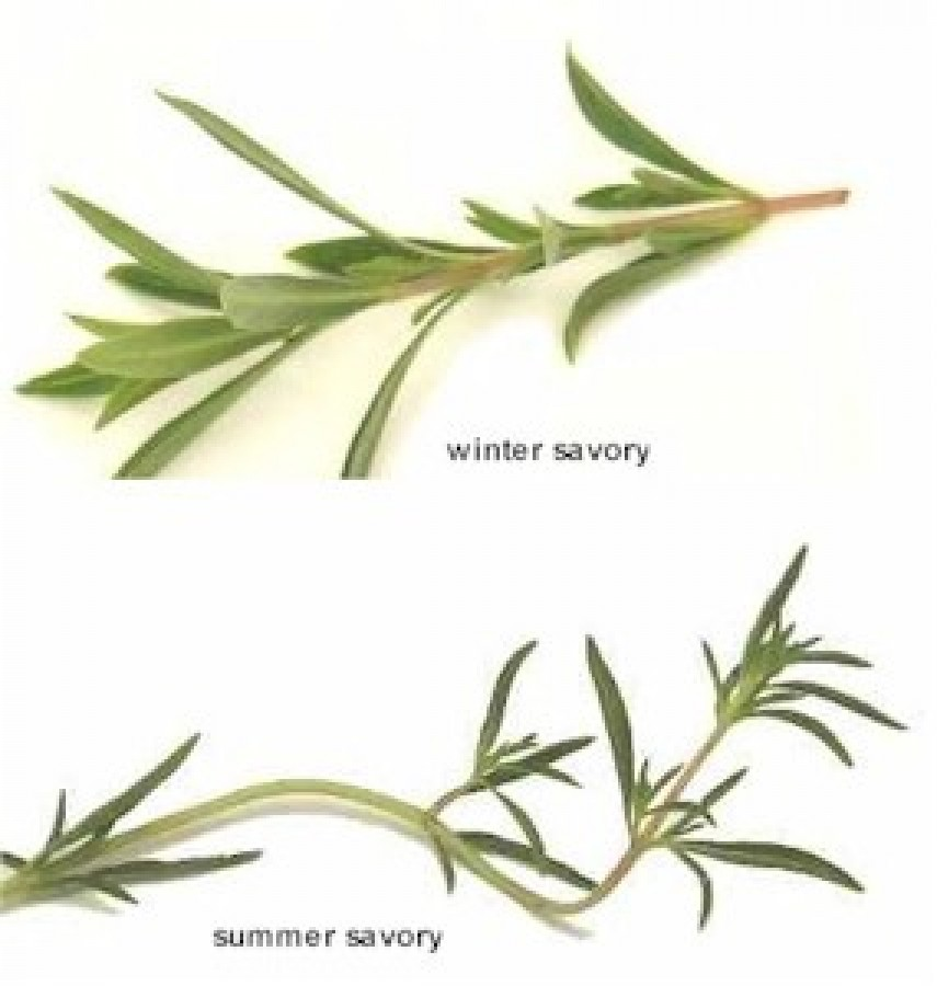 Savory herb nutrition facts