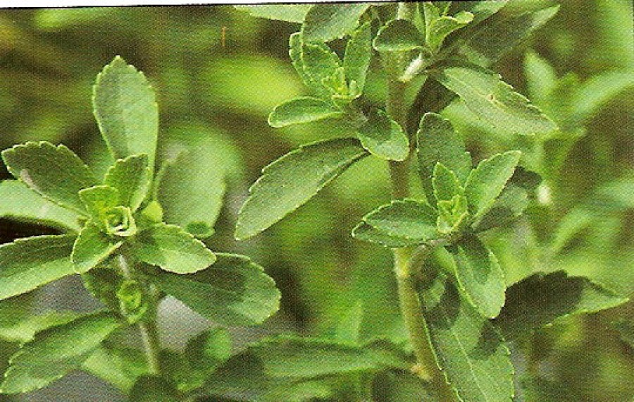 Stevia plant (herb) nutrition facts