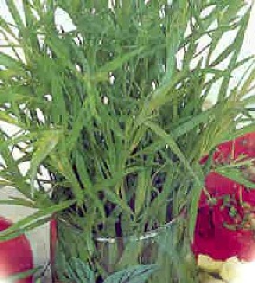 Tarragon herb nutrition facts