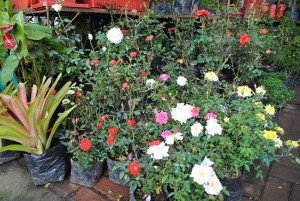 How to Grow Healthy Roses by Controlling Powdery Mildew