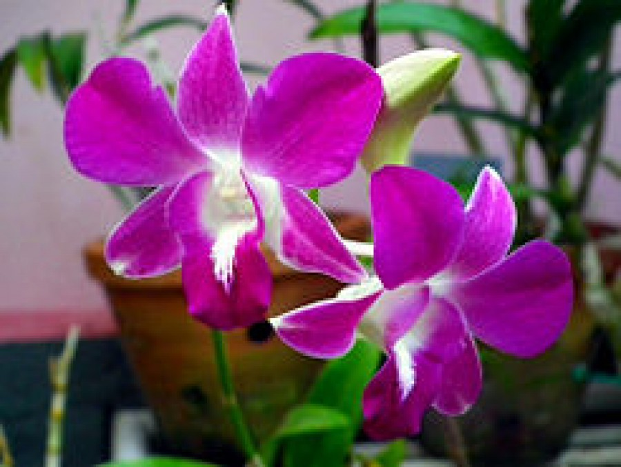 How to Make a Vanilla Orchid Plant Bloom
