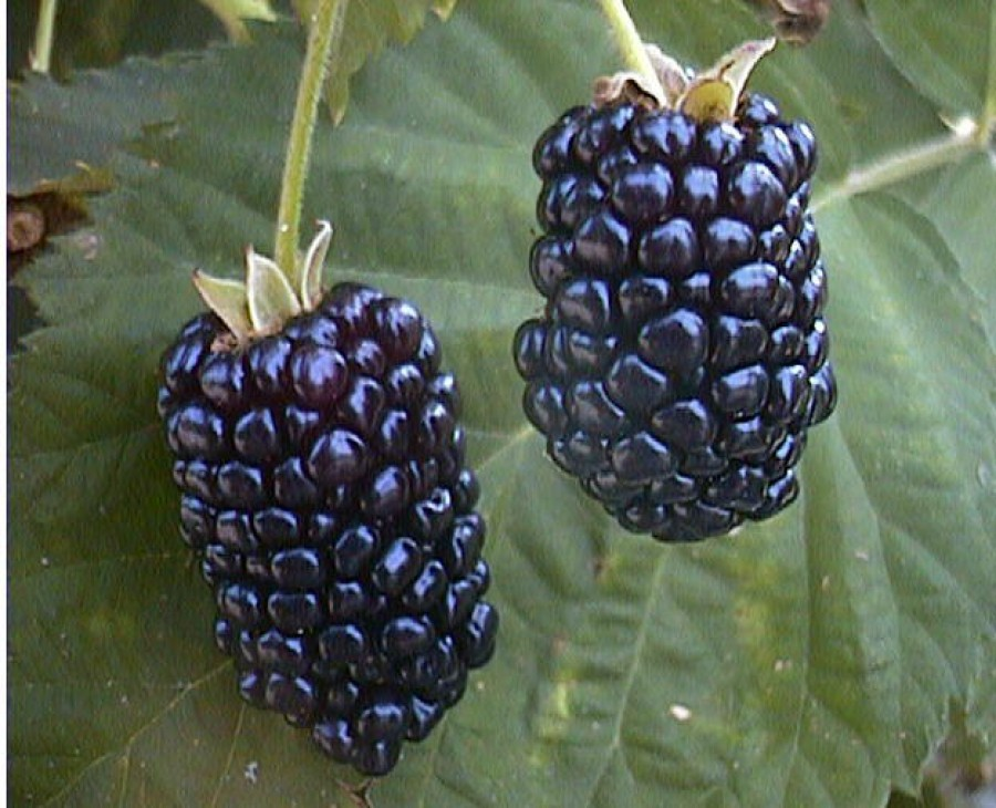 What are Blackberry Benefits to your Health?