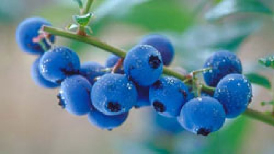 Blueberries can ward off memory problems